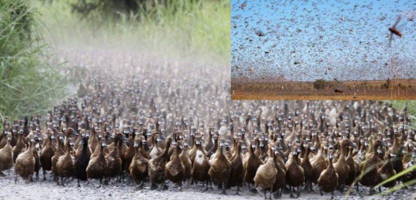 Patke u borbi protiv najezde skakavaca