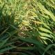 Ratari zatečeni stanjem strnih žita