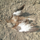 Još jedno trovanje ptica kod Bačke Topole