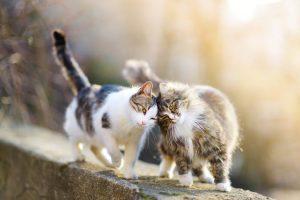 Mačke mogu da se zaraze koronavirusom