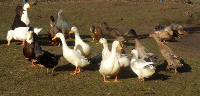 Usmrtili 27.000 pataka misleći da imaju ptičiji grip