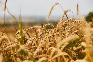 Argentina prva u svetu odobrila GM pšenicu