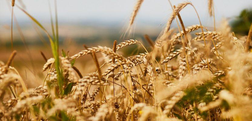 Sve interesuje cena novog roda žita