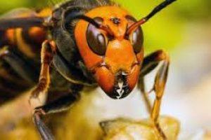 Jedinstvena strategija pčela u borbi protiv stršljenova