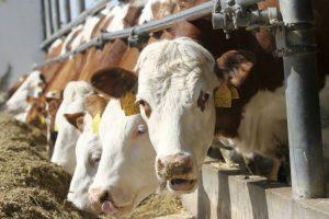 Država će pomoći uzgajivačima kroz interventni otkup tovne junadi