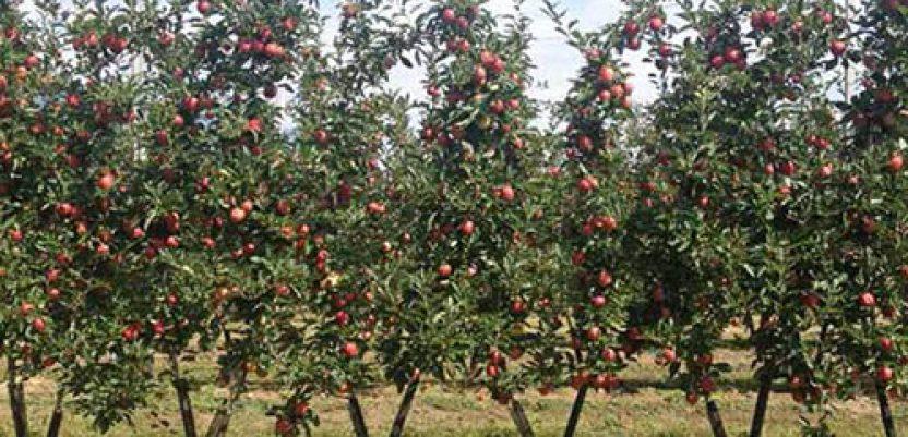 Ogledni zasad jabuka BIBAUM sadnica u Vrbasu