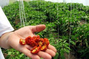 Širi se uzgoj ekstremno ljutih papričica u Srbiji