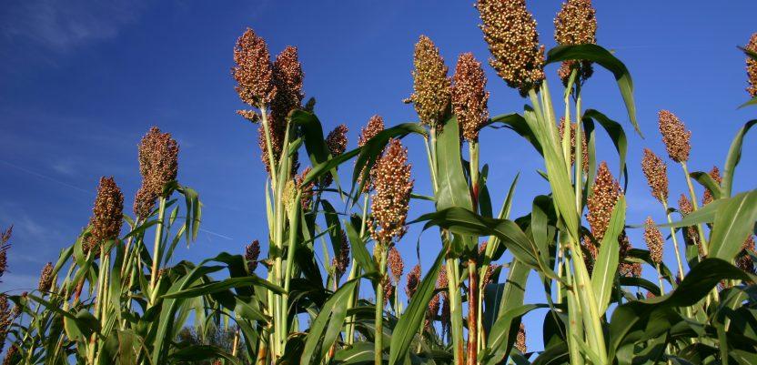 Sirak: Može i za metle i za zrno, a dobro podnosi sušu