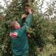 Nektar širi plantaže organskih jabuka
