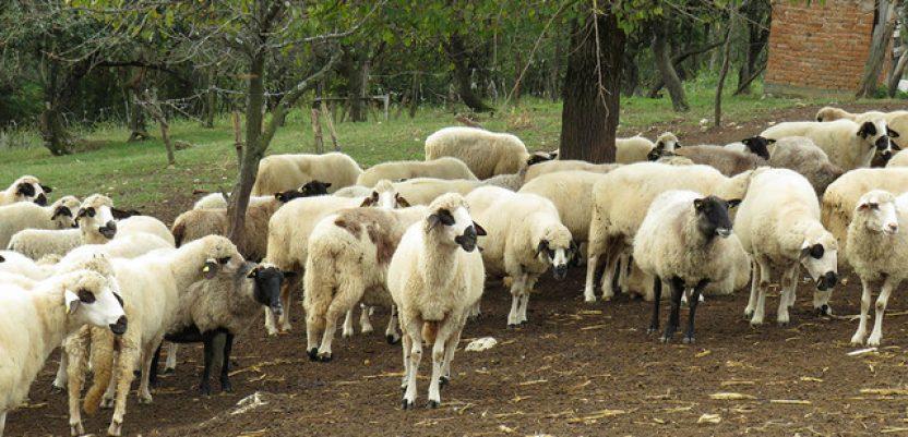 Inženjer iz Lelića najbolj izvoznik jagnjadi