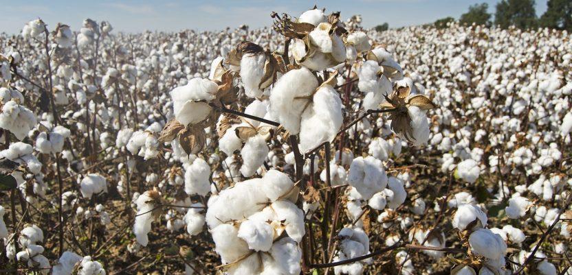 Kina demantuje da postiji prisilan rad na poljima pamuka