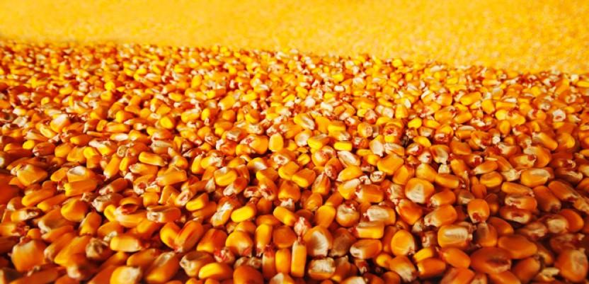 Robne rezerve kupuju merkantilni kukuruz