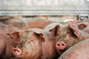 Direkcija za robne rezerve otkupljuje 5.000 tovnih svinja