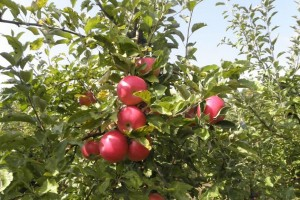 Jabuka rodila, kupci se čekaju