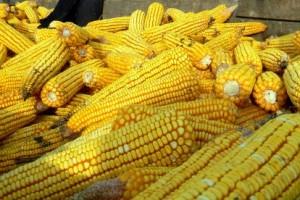 Apsolutni primat kukuruza na tržištu žitarica