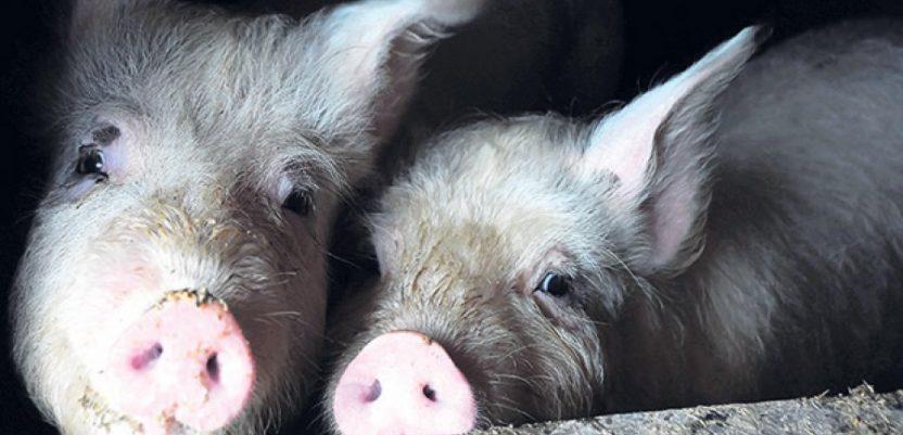 Hrvatska je slobodna od klasične svinjske kuge