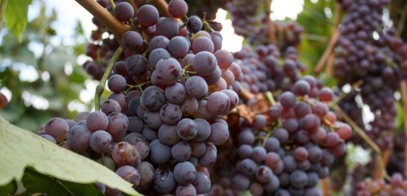 Savez vinara naručio plan, država ga platila bez konkursa, napisan za šest dana
