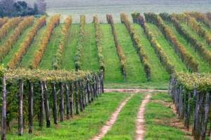 Izvaditi vinograde iz nebranog grožđa
