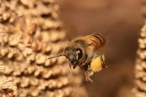 Inicijativa da se zakonom zaštite pčele