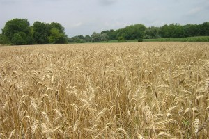 Niže cene agrarnih proizvoda za 11,6 odsto