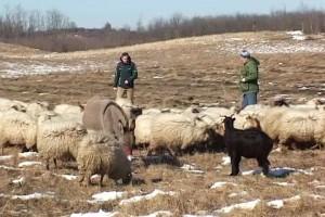 Veći podsticaji za uzgoj koza i ovaca