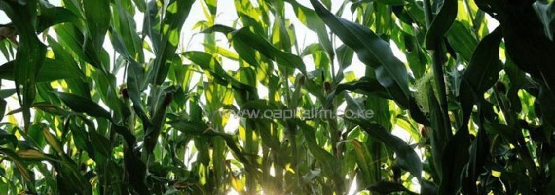 Zeleno svetlo za GMO kukuruz u EU?