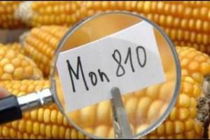 Francuska donela dekret o zabrani sejanja GM kukuruza