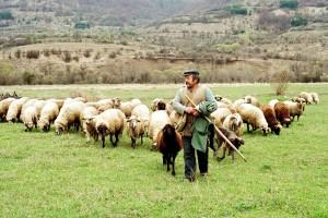 Duplo više ovaca nego ljudi u Ljigu