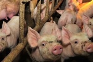 Predah: Kina želi austrijske svinje