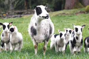 Za svaku ovcu 7.000 dinara podsticaja