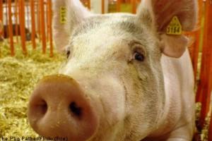 Francuska proteruje prasiće iz SAD, Kanade i Meksika
