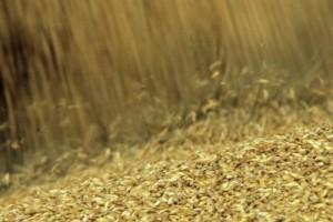 Naduvavanjem roda i zaliha obaraju cenu pšenice