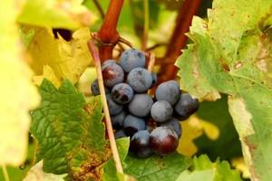 Rehuljavost i momičavost grozdova vinove loze