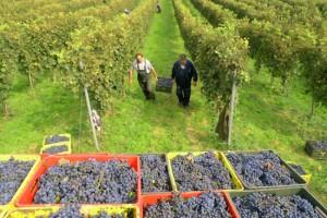 Suša ubrzala berbu u vršačkom vinogorju