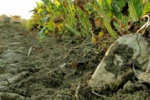 Otkup šećerne repe po istoj ceni kao i prošle godine