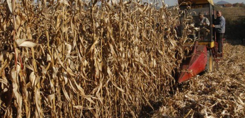U Centralnoj Srbiji otpočela berba kukuruza