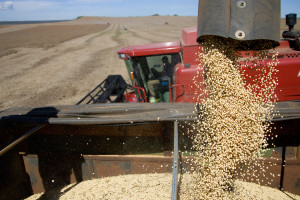 Završena žetva pšenice, rekordni prinos od oko 3,4 miliona tona