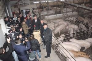 Šest miliona evra za 50.000 svinja