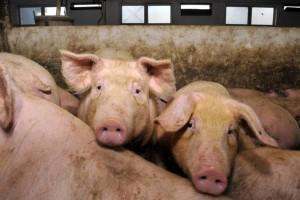 Domaće svinje – otkup ili rezerve