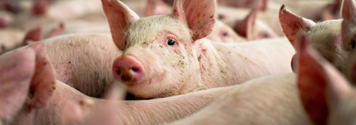 U prošloj godini povećan broj goveda, svinja i ovaca