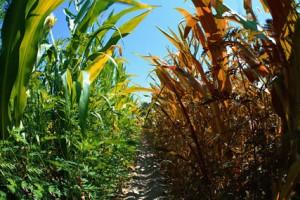Kako klimatske promene utiču na poljoprivredu u Srbiji?