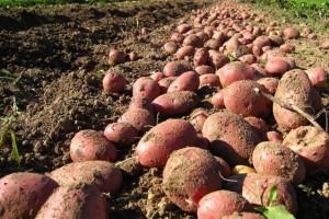 Prijepolje: Niko neće krompir, proizvođači ga bacaju