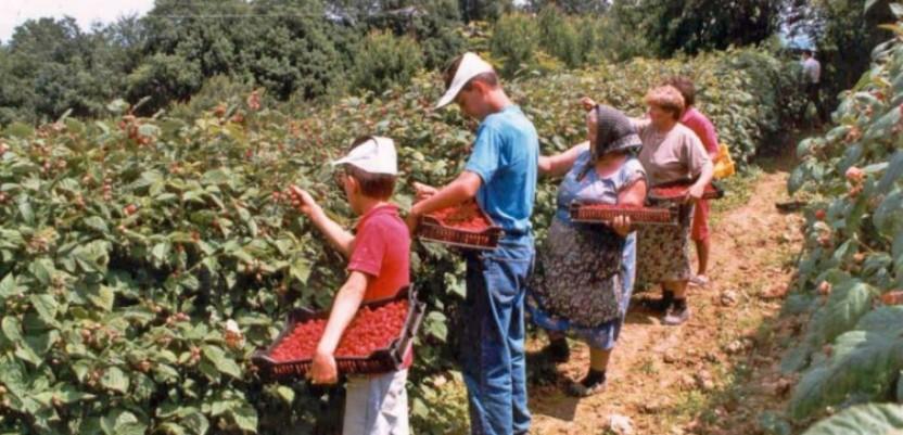 Malinari brinu kako da organizuju berbu