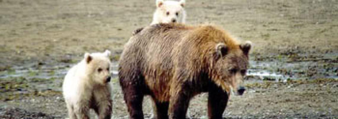 """Otopljena trećina Arktika, pojavio se """"grolar"""""""