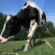 Bolest ludih krava ponovo potresa tržište mesa