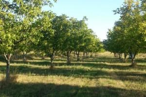 Proizvodnja oraha u Srbiji nedovoljna