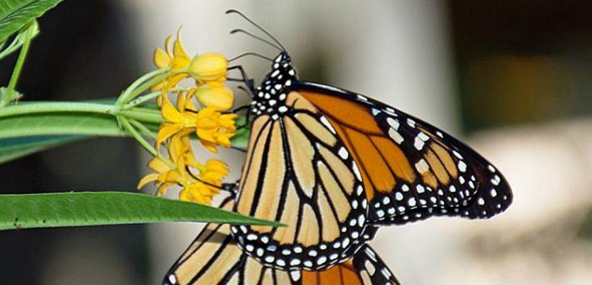 Broj leptira u Belgiji smanjen za četvrtinu