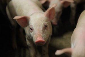 Industrija mesa Đurđević otvorila farmu tovljenika kod Šida