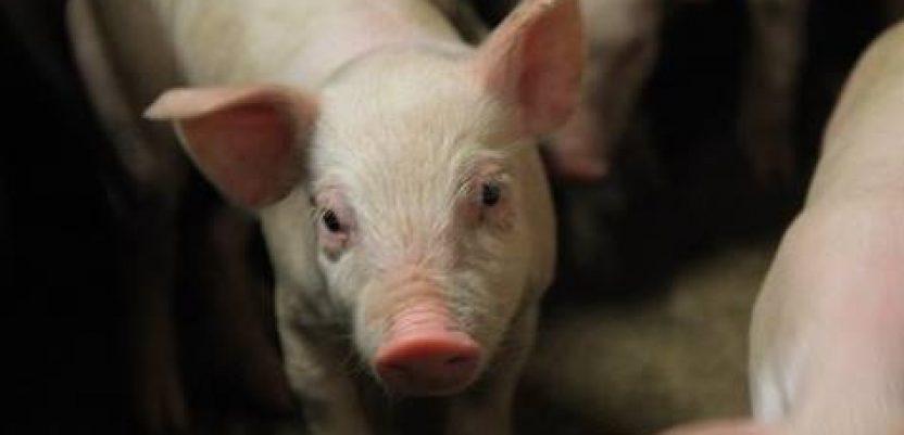 U 2019. prodato i otkupljeno 136.068 tovljenih svinja