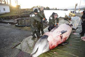 U stomaku kita pronađeno 30 plastičnih kesa